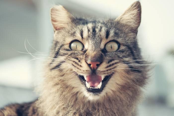 chat souffrant de la chaleur