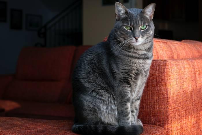 chat stérilisé pourquoi il est en forme