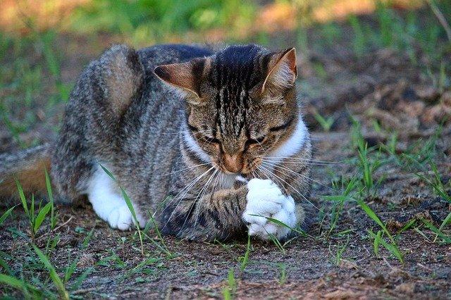chat avec sa proie, cadeau pour son maitre